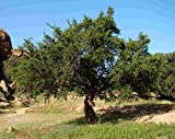 Asklepios-seeds | 10 Argania spinosa Seeds, Rare Argan Tree from Morocco, Source of Argan Oil