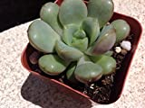 Succulent plant, Graptovervia Amethorum. Rare hybrid of graptopetalum amethystinum and echeveria purpusorum.