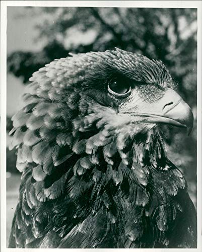 (Vintage photo of African39;s aerial acrobat the bateleur eagle.)