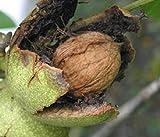English Carpathian Walnut edible nut tree seedling LIVE PLANT