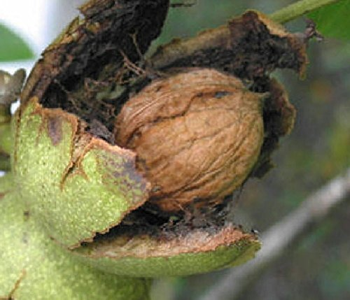 Walnut English (English Carpathian Walnut edible nut tree seedling LIVE PLANT)