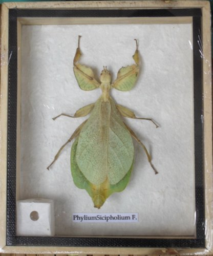 REAL Leaf Insect PhyliumSicipholium taxidermy in wood box