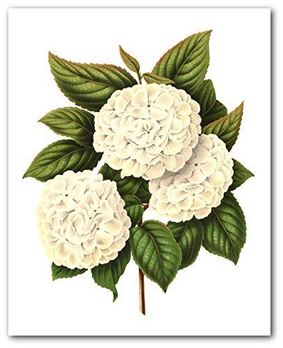 White Flower Print, Botanical Hydrangea Art, 8 x 10 Inches, Unframed