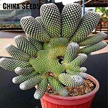 VISTARIC 100 piezas blancas: Stapelia Semillas Lithops Mix suculentas primas Piedra Cactus Semillas raras plantas frescas Bonsai en Casa y JardÃn Macetas de flores: Amazon.es: Jardín