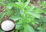 *NEW*Sweet* 125 STEVIA dark seeds *rare*Diabetic*#1108