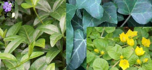 10 getopfte Bodendecker für den Garten in Gärtnerqualität, mindestens 3 Sorten, biologische Unkrautbekämpfung