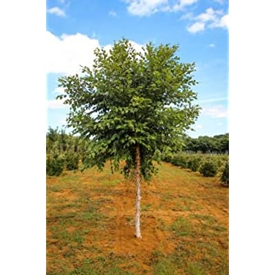 1 River Birch single stem tree (betulanigra) : Garden & Outdoor