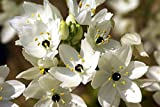Star of Bethlehem - 5 Bulbs 14/16 cm - Ornithogalum arabicum