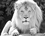 Lion photo print, animal picture, black and white art, paper print or canvas, B&W art picture, 5x7 to 30x45 inches, large wall décor