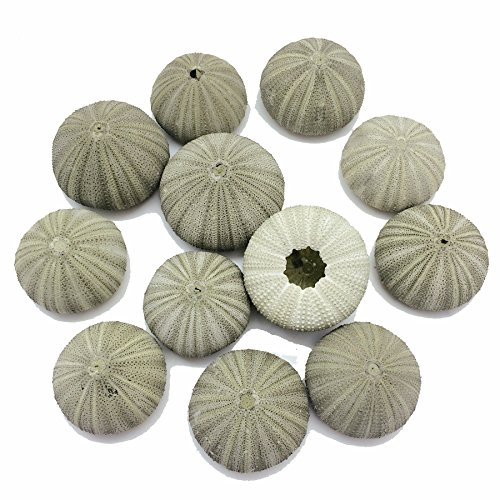 PEPPERLONELY 10PC Green Sea Urchins Sea Shells (1-5/8 Inch ~ 2-1/8 Inch) ...