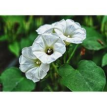 Asklepios-seeds - 100 seeds Rivea Corymbosa - Turbina corymbosa Seeds - Ololiuqui