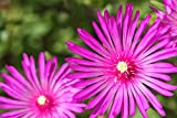 Ice Plant Delosperma Cooperi - Rooted in small pot