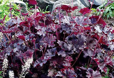 (MIXED COLORS CORAL BELLS HEUCHERA Shade Flower Seeds 10 seeds)
