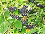 50 BLACK CHOKEBERRY Aronia Melanocarpa White Flower Shrub Seeds
