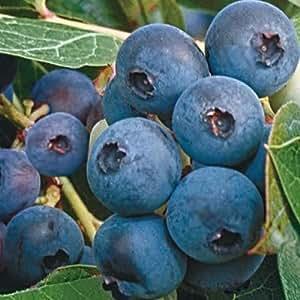 Ka-Bluey Blueberry - Jumbo (1 plant)