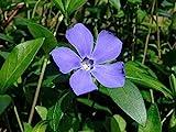 "Myrtle 8 Plants - Periwinkle/Vinca - Hardy Groundcover - 1 3/4"" Pots"