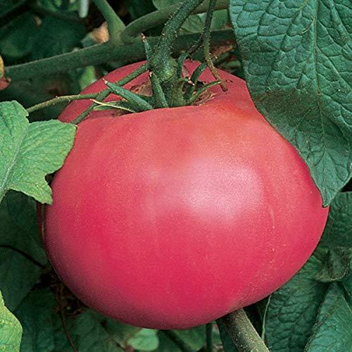 Burpee Brandywine Pink' Heirloom Large Beefsteak Tomato, 3 Live Plants | 2 1/2