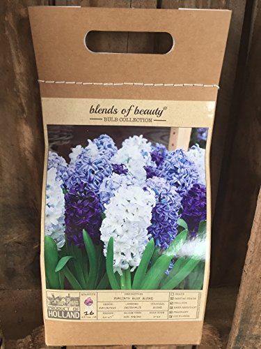 16 Hyacinth Blue Blend - Hyacinth Orientalis