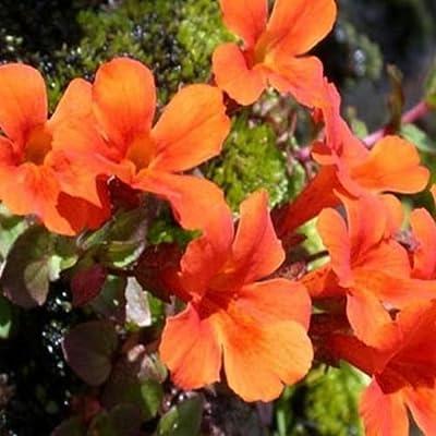 Mimulus- Monkey flower- Orange- 100 Seeds - : Garden & Outdoor