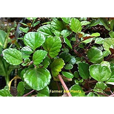 PLECTRANTHUS - Swedish Ivy Purple Trailing - 6 Live Starter Plants : Garden & Outdoor