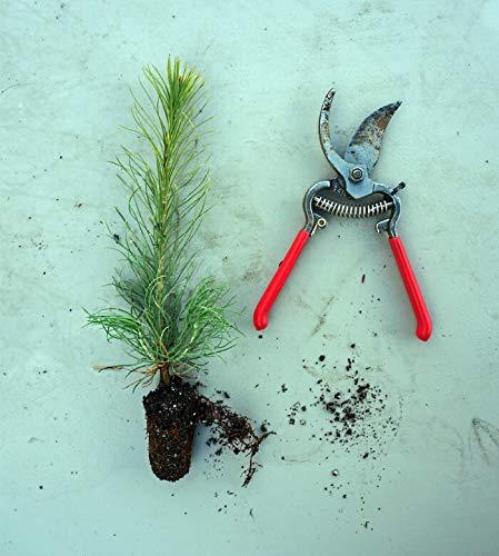 Tree Pine Austrian (Austrian Black Pine - Pinus nigra - 5 to 7 inch Tall Live Tree Seedling Grown in Small Plug Tray)