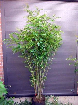 シマトネリコ 7本以上の株立ち 190 常緑樹 B00IROVP0U