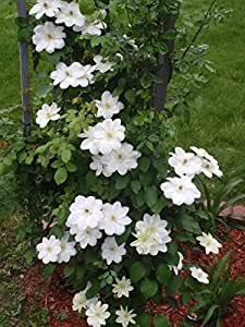 1 Starter Plant of Candida Clematis