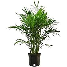 Costa Farms Cat Palm Live Indoor Floor Plant in 8.75-Inch Grower Pot