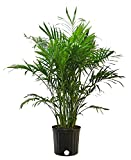 Costa Farms 10CAT Chamaedorea cataractarum Live Plant, 3-FT Cat Palm