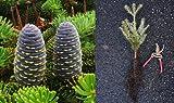 Korean Fir - Abies koreana, 12-16 Inch Live Tree Seedling. Purple cones! Zone 5