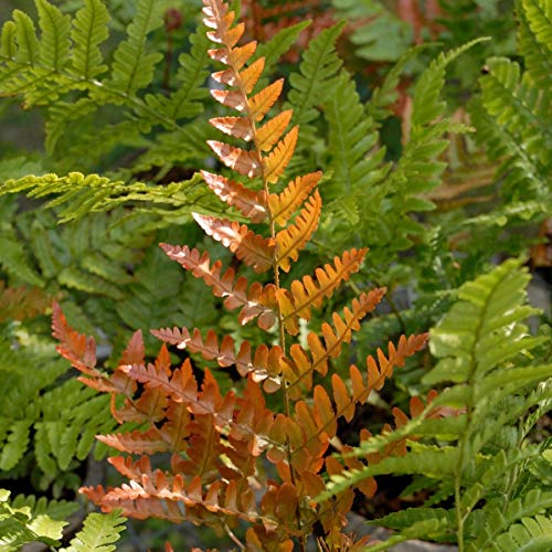 Autumn Fern Plant (3 Plants/Root) Shade Loving Plant,Low Growing,Zone 4-9 (Best Shrubs For Zone 6)