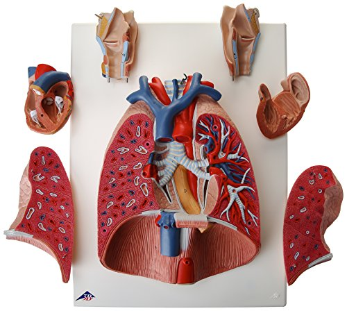 3B Scientific Lung Model with Larynx, 7-Part by 3B Scientific (Image #1)