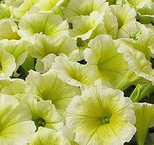 Easy Wave YELLOW Trailing Petunia 20 Pelleted (Easy Wave)