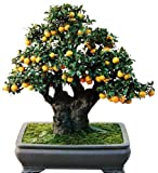 #1180-A World's Sweetest Kumquat 'Meiwa'10 seedsVery FragrantEZ-GROWORGANIC#1180-A
