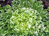 Lettuce, Endive Broadleaf Batavian, Heirloom, Organic 100 Seeds, Tasty Lettuce