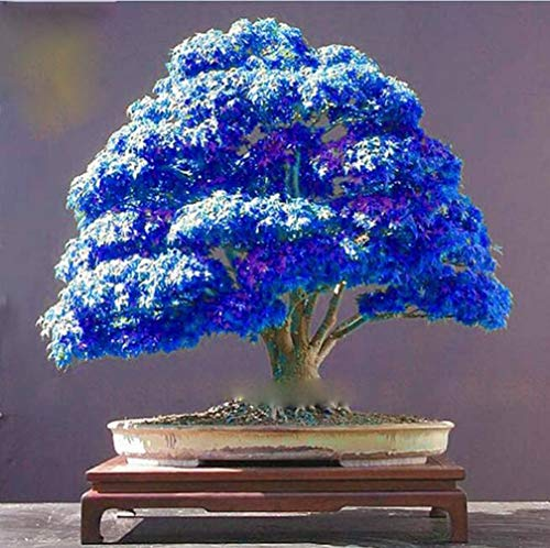 Rare Purple Blue Ghost Japanese Maple Tree Seeds, (Acer Palatum), Bonsai Flower Tree Seedlings Plant for Home Garden - - Blue Bonsai