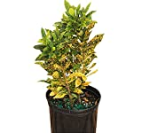 PlantVine Codiaeum variegatum 'Gold Dust', Croton - 6 Inch Pot (1 Gallon), 4 Pack, Live Indoor Plant