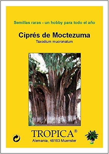Montezuma Zypresse TROPICA Taxodium mucronatum - 60 Samen