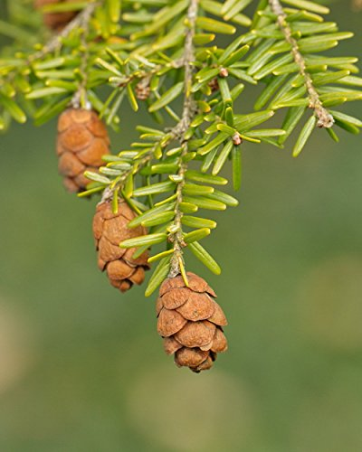 Photograph of Canadian Hemlock Cones - Fine Art Nature Photography -