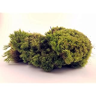 EZ-Botanicals Fresh Mood Moss Perfect for Terrariums and Bonsai