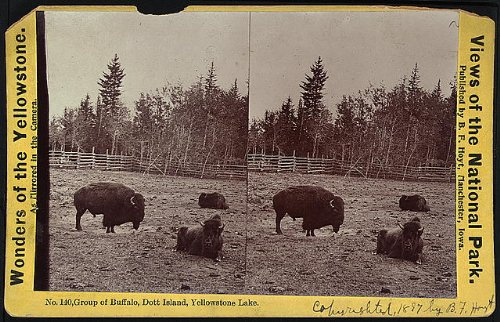 Dott Island - HistoricalFindings Photo: Photo of Stereograph,Yellowstone National Park,Buffalo,DOTT Island,Lake,Animals
