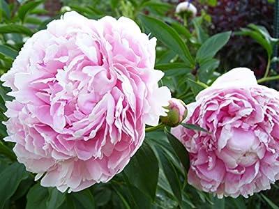 Sarah Bernhardt Garden Peony: Paeonia lactiflora - 1 Bulbs