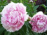 buy Sarah Bernhardt Peony/Peonies - 3-5 Eyes - Heavy Potted - Perennial - Each 1 Trade Gal by Growers Solution now, new 2018-2017 bestseller, review and Photo, best price $12.95