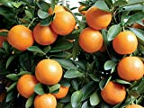 "3""- 6"" KUMQUAT TREES REAL LIVE PLANT CITRUS FRUIT LANDSCAPING SEEDLING STARTER"