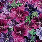 20+ Malva Mystic Merlin Mix Flower Seeds / Sylvestris / Hollyhock / Perennial