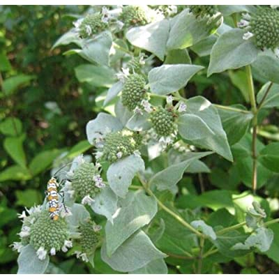 Grandiosy Mountain Mint 1000 Seeds Rare HERB Medicinal Aroma : Garden & Outdoor