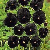 Pansy- Black- 50 Seeds