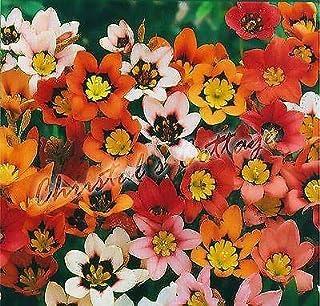 Portal Cool 12 Color Mix Jardin Sparaxis Ampoule printemps croissance Belle Beatiful Fleurs d'été