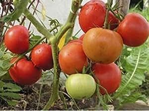 Las semillas de tomate rojo Neptun F1 temprana híbrido no GMO