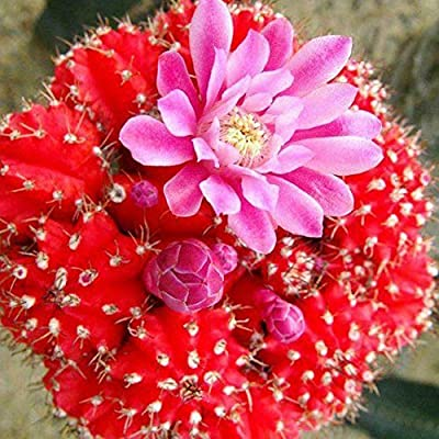 Phoenix b2c 100Pcs Mixed Color Cactus Seeds Succulent Plant Home Park Bonsai Balcony Decor - 100pcs Cactus Seeds# : Garden & Outdoor